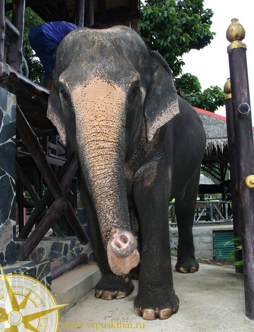 Катание на слонах Самуи