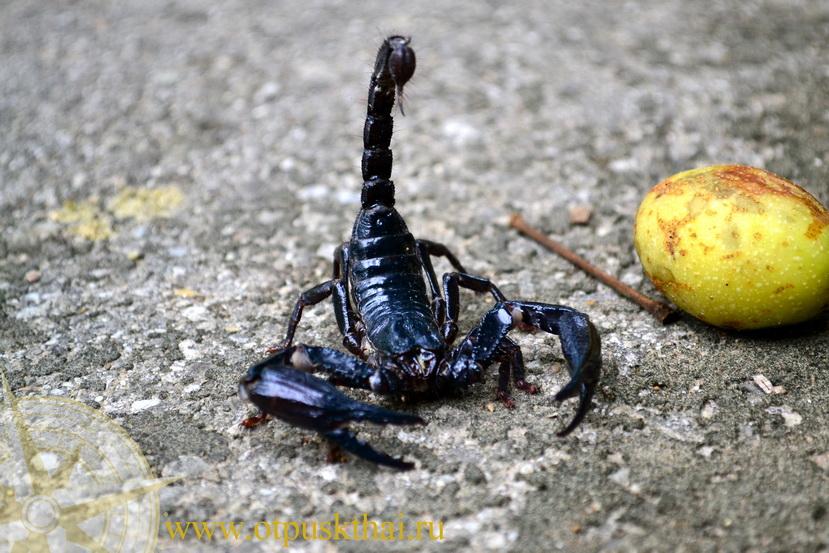 Черный скорпион в Таиланде