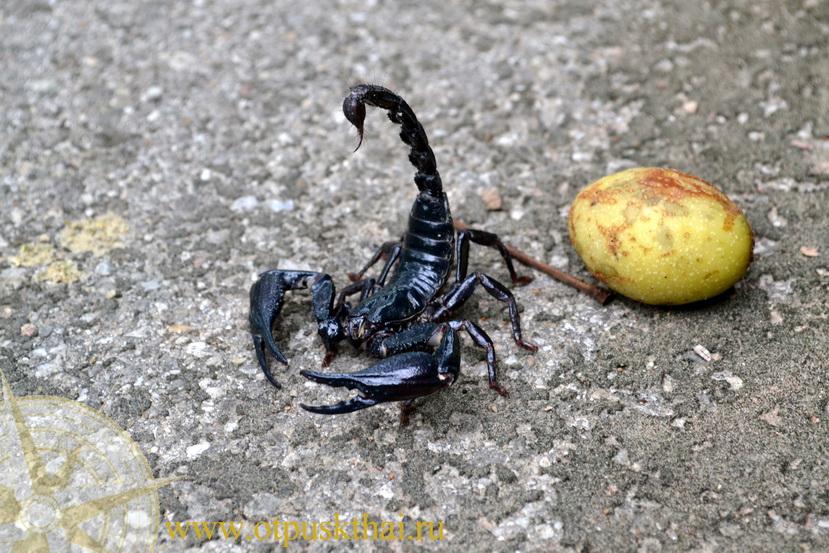 Черный скорпион в Краби