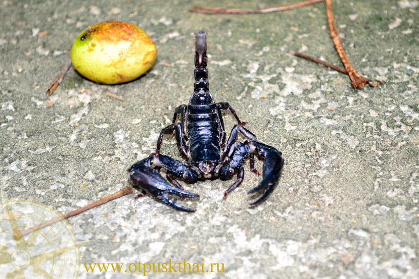Meeting with a black scorpion in a Krabi