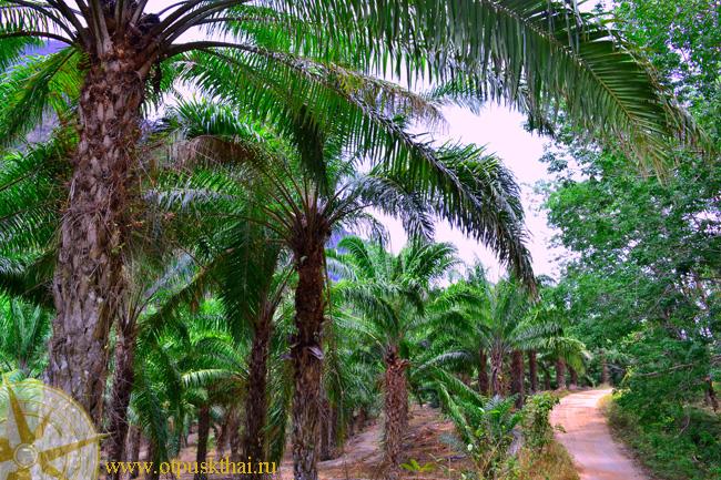 Пальмовая плантаиця Краби